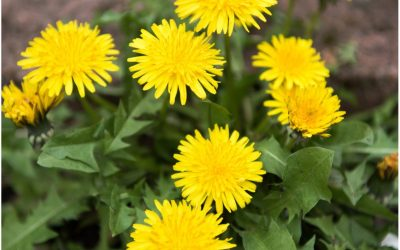 Dandelion – The Herb for the New Millennium